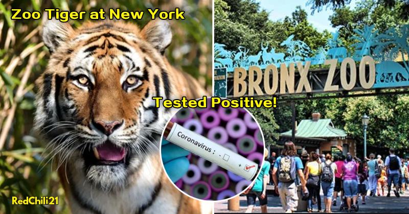 Tiger New York